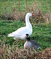 Two geese - one white, one unusual - geograph.org.uk - 1639061.jpg