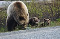 Two tiny cubs with their mother near the Denali Park Road (eadc07bf-1eb2-40d4-95de-7f90d1e07265).jpg