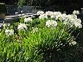 UCB white Agapanthus.JPG