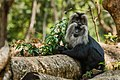 Uday Kiran Lion-tailed macaque Allogrooming.jpg