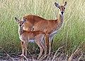 Ugandan kobs (Kobus kob thomasi) female and calf (cropped).jpg