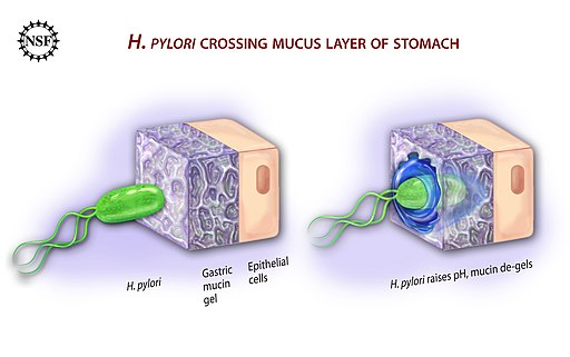 Ulcer-causing Bacterium (H.Pylori) Crossing Mucus Layer of Stomach