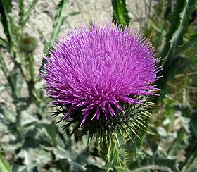 Цветок татарник фото