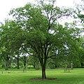 Ulmus macrocarpa Morton.jpg