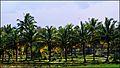 Vadavannur Rice Fields 6.jpg