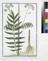 Valeriana sylvestris, major folio lucido - Valeriana foliis omnibus pinnatis (NYPL b14444147-1125045).tiff
