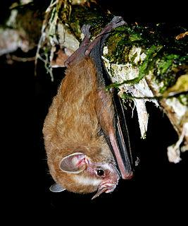 <i>Vampyressa</i> genus of mammals