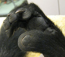 Right foot of a black-and-white ruffed lemur, showing a clear flat nail on the big toe and an arching, claw-like toilet-claw on the second toe