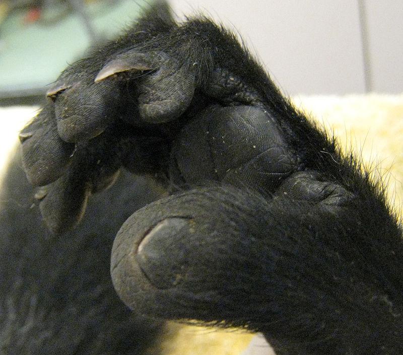 Close-up of a ruffed lemur's foot