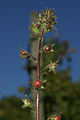 Verbascum blattaria PID960-4.jpg