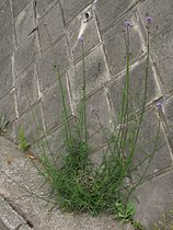 Verbena bonariensis6.jpg