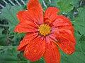 Vermilion flower close-up (224534328).jpg