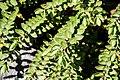 Veronica decumbens in Christchurch Botanic Gardens 02.jpg