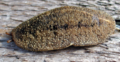 Veronicella cubensis 2.png