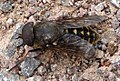 Very large Horsefly. Tabanus sudeticus^ Tabanidae - Flickr - gailhampshire.jpg