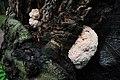 Very young Hericium erinaceus (Bearded Tooth or Lion's Mane Mushroom, D= Igel-Stachelbart or Löwenmähne, F= Hydne hérisson, NL= Pruikzwam) - panoramio.jpg