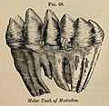 Vestiges 11 fig 66 Mastodon tooth.jpg