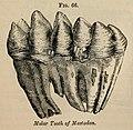 Vestiges 11 fig 66 Mastodon tooth.jpg