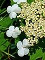 Viburnum opulus 003.JPG