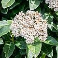 Viburnum tinus in Haute-Vienne (1).jpg