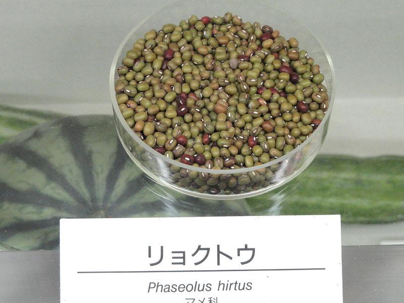 File:Vigna radiata - Osaka Museum of Natural History - DSC07852.JPG