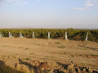 Agriculture in Russia - Vineyard with grapes Cabernet Sauvignon on the Taman Peninsula, Krasnodar Krai