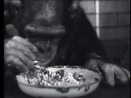Bestand:Vijf en twintig jaar oppasser van de apen in Artis-514985.ogv