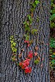 Vine Leaves Turning for Autumn PLT-LV-6.jpg