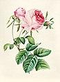 Vintage Flower illustration by Pierre-Joseph Redouté, digitally enhanced by rawpixel 80.jpg