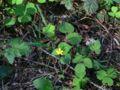 Viola glabella 06313.JPG