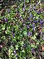 Viola odorata sl25.jpg