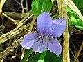Viola riviniana FlowerCloseup3 2009March19 SierraMadrona.jpg