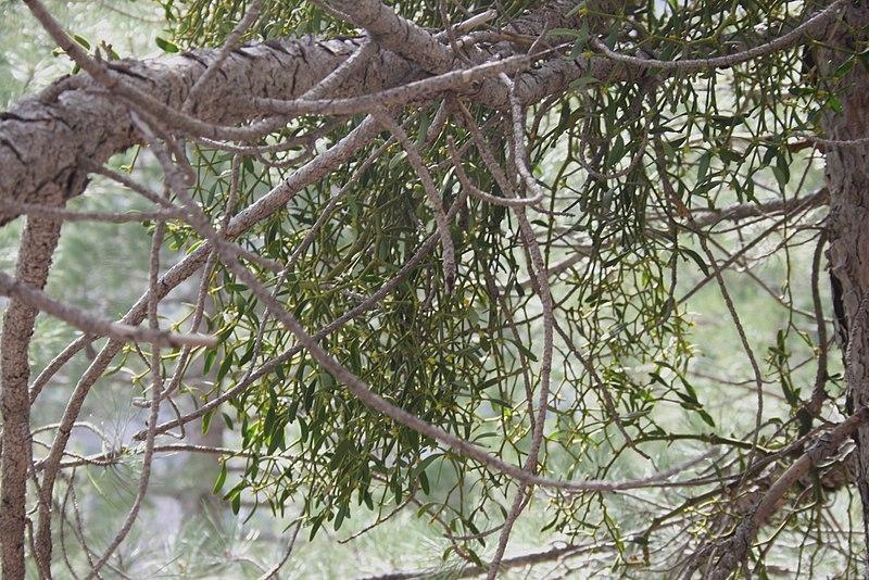 File:Viscum-album på Pinus.JPG