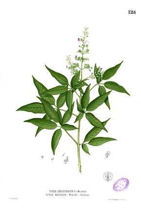 Description de l'image Vitex negundo Blanco1.228.png.