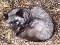 Vulpes vulpes -Dartmoor Zoo, Plymouth, Devon, England -silver morph-8a.jpg