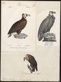 Vultur monachus - 1700-1880 - Print - Iconographia Zoologica - Special Collections University of Amsterdam - UBA01 IZ18100035.tif