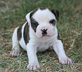 Warrior American Bulldog puppy.jpg