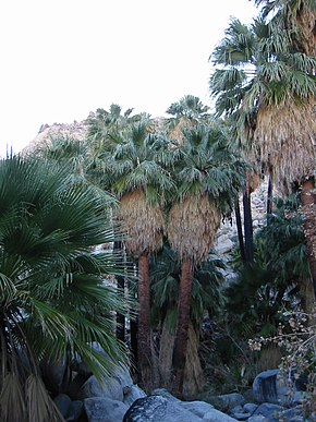 Washingtonia filiferaprpo de Twentynine Palms, Califòrnia