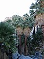 Washingtonia filifera.jpg