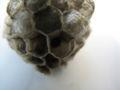 Wasp nest 04.JPG