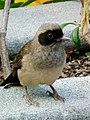 Watching Garrulax perspicillatus 2.jpg
