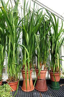 <i>Watsonia marginata</i> species of plant