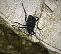 Weevil (48814520621).jpg
