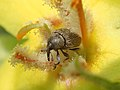 Weevil on yellow flower.jpg