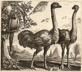 Wenceslas Hollar - Two ostriches.jpg