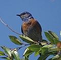 Western Bluebird (14471307651).jpg