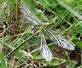 Western Clubtail. Gomphus pulchellus. Mature Male. - Flickr - gailhampshire.jpg