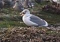 Western Gull (2132256199).jpg