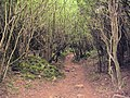 Wetton, footpath through dense woodland - geograph.org.uk - 523038.jpg