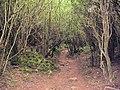 Wetton, footpath through dense woodland - geograph.org.uk - 523038.jpg